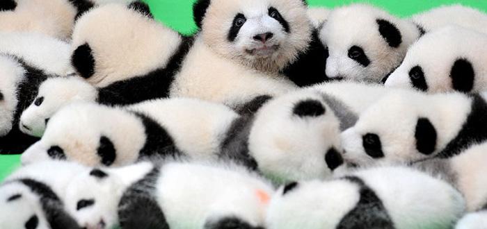 Baby Pandas World Debut