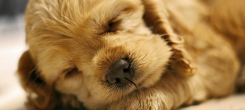sleeping-puppy-shutterstock-800×430